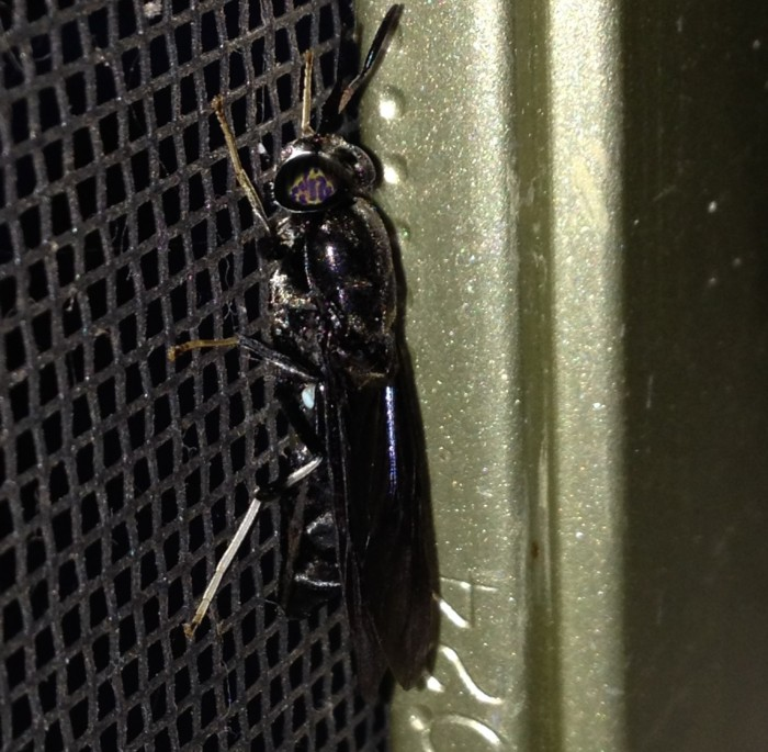 Adult Black Soldier Fly