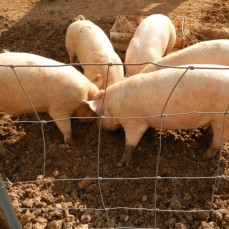 pigs loving grubs