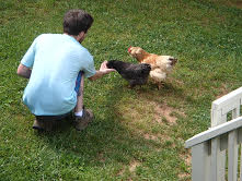 Feeding chickens grubs